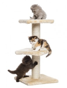 Highland fold or straight kittens playing on a cat tree, isolated on white